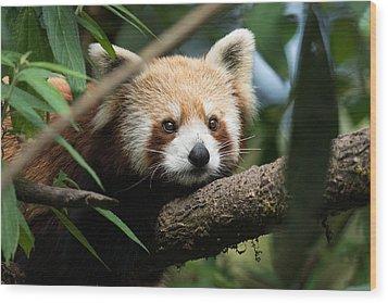 Cute Panda Wood Print by Fotosas Photography