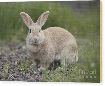 Cute Rabbit Wood Print by Craig Dingle