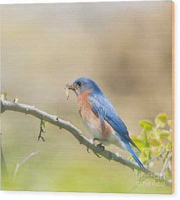 Daddy Bluebird Wood Print