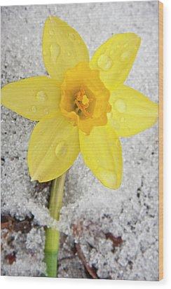 Daffodil In Spring Snow Wood Print by Adam Romanowicz