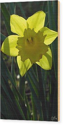 Daffodil In The Shadow Of Himself Wood Print by Sascha Kolek