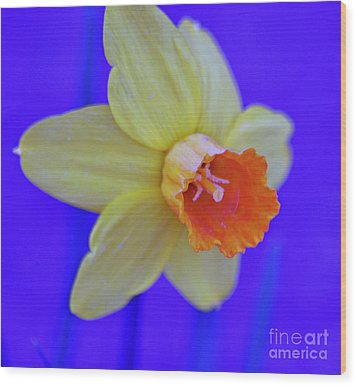 Wood Print featuring the photograph Daffodil On Blue by Juls Adams