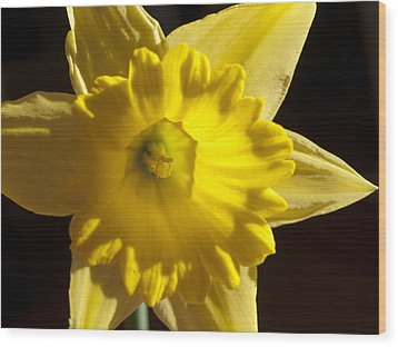 Wood Print featuring the photograph Daffodile by Haleh Mahbod