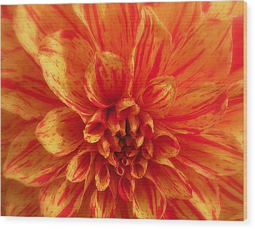 Dahlia  Wood Print by Brian Chase