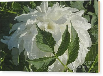 Wood Print featuring the photograph Dahlia Delicate Dancer by Susan Garren