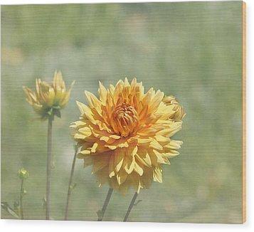 Dahlia Flowers Wood Print by Kim Hojnacki