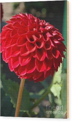 Wood Print featuring the photograph Dahlia IIi by Christiane Hellner-OBrien