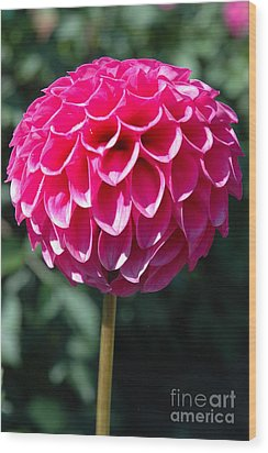 Wood Print featuring the photograph Dahlia IIII by Christiane Hellner-OBrien