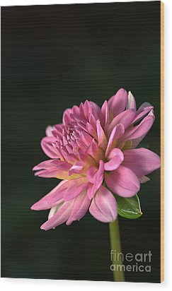 Dahlia In The Spotlight Wood Print by Joy Watson