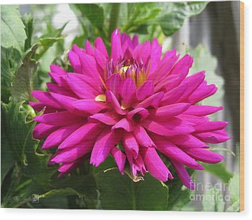 Wood Print featuring the photograph Dahlia Named Andreas Dahl by J McCombie