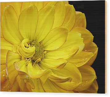 Dahlia Pedals Wood Print by Gary Neiss