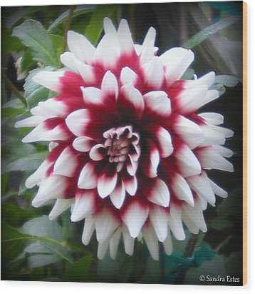Dahlia Wood Print by Sandra Estes