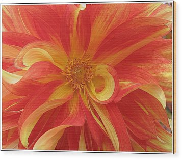 Dahlia Unfurling In Yellow And Red Wood Print by Dora Sofia Caputo Photographic Art and Design