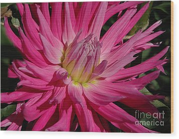 Wood Print featuring the photograph Dahlia X by Christiane Hellner-OBrien