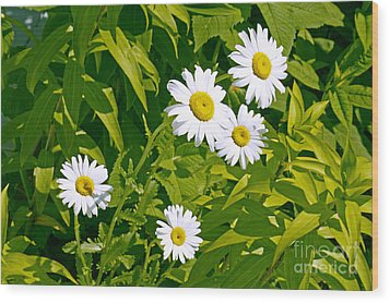 Daisies In Provincetown Wood Print