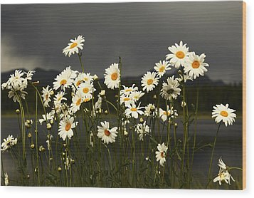 Daisies In Storm Light Wood Print