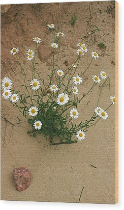 Daisies In The Sand Wood Print by Randy Pollard