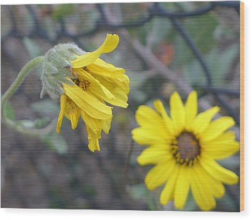 Wood Print featuring the photograph Daisies by Nora Boghossian