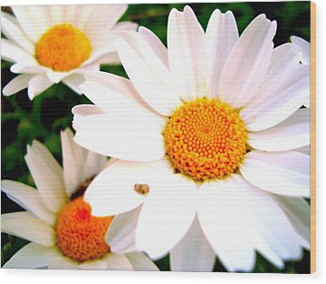 Daisy 2 Wood Print by Tamara Bettencourt