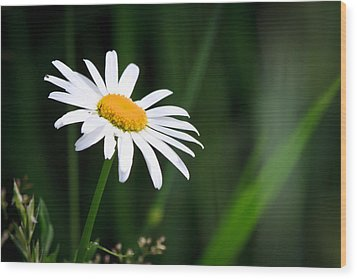 Daisy - Bellis Perennis Wood Print by Bob Orsillo