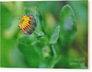 Daisy Bud Ready To Bloom Wood Print by Kaye Menner