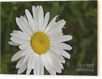 Wood Print featuring the photograph Daisy Day by Maria Janicki