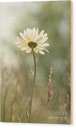 Daisy Dreams Wood Print by LHJB Photography