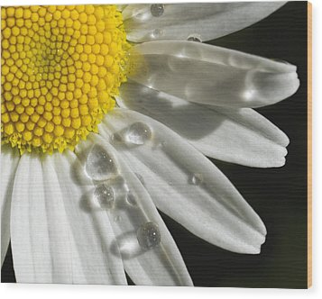 Daisy With Raindrops Wood Print by Rob Graham
