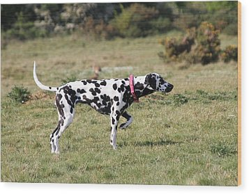 Dalmation Pretending To Be A Pointer Wood Print by Gordon Auld