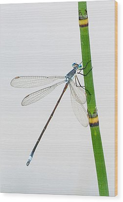 Damselfly On Horsetail Wood Print