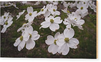 Wood Print featuring the photograph Dance Of The Dogwoods by Wayne Meyer