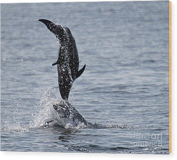Dancing Dolphins Wood Print by Bob Hislop