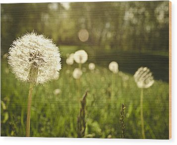 Dandelion Basking In The Sun Wood Print