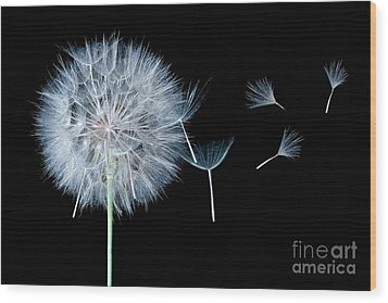 Dandelion Dreaming Wood Print by Cindy Singleton