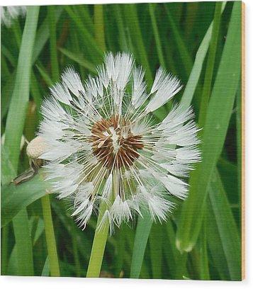 Dandelion Fluff Wood Print by Karen Molenaar Terrell
