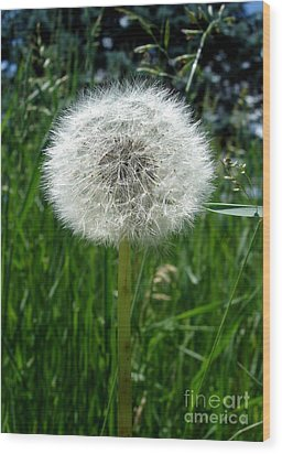Dandelion Fluff Wood Print by Kerri Mortenson