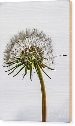 Dandelion Wood Print by Hannes Cmarits