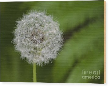 Dandelion Wood Print by JRP Photography