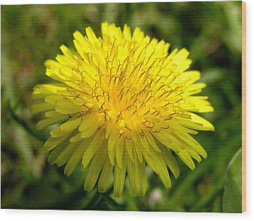 Wood Print featuring the digital art Dandelion by Ron Harpham