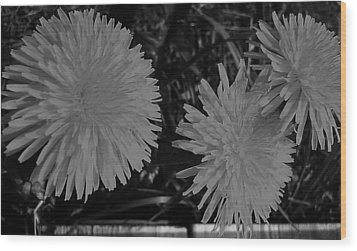 Wood Print featuring the photograph Dandelion Weeds? B/w by Martin Howard