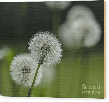 Dandelions  Wood Print by JRP Photography