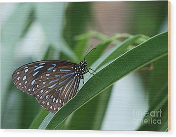 Dark Blue Tiger Butterfly #2 Wood Print by Judy Whitton