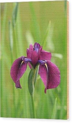 Dark Magenta Iris Wood Print
