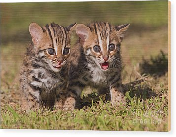 Dazed And Confused Wood Print by Ashley Vincent