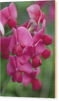 Deep Pink Sweet Pea Wood Print