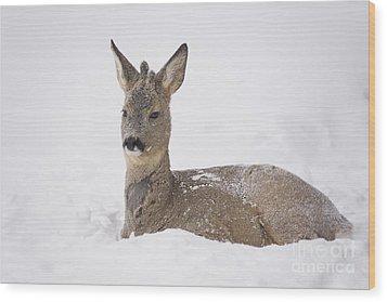 Deer Resting In Snow Wood Print