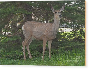 Deer Tourist... Wood Print