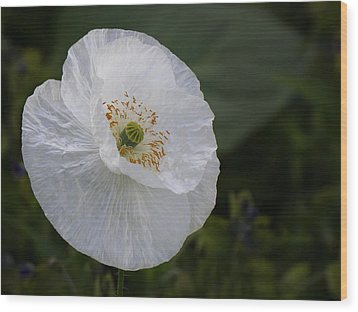 Wood Print featuring the photograph Delicate Poppy by Inge Riis McDonald