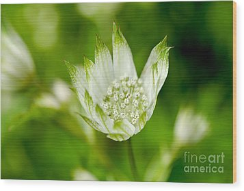 Delicate Spring Time Flower Wood Print