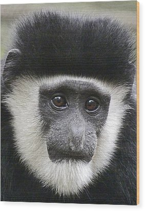 Demure Young Black And White Colobus Wood Print